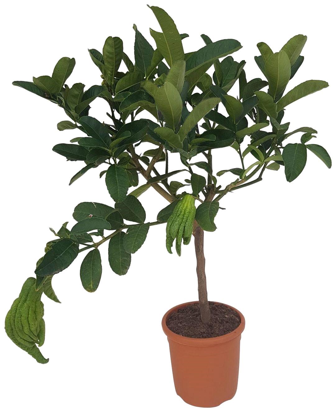 BCM Obstbaum Buddhas Hand, Höhe: 70 cm, 1 Pflanze grün Obst Pflanzen Garten Balkon