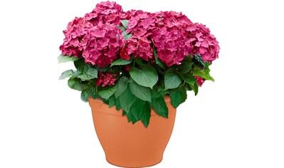 Hortensie »Pink Pop« kaufen