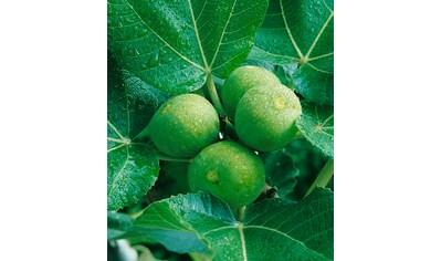 Obst »Feigenbaum« kaufen