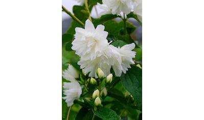 BCM Hecken »Duft Jasmin Schneesturm«, Höhe: 30-40 cm, 3 Pflanzen kaufen
