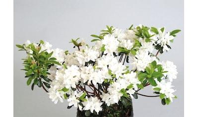 BCM Hecken »Rhododendron Maischnee« kaufen