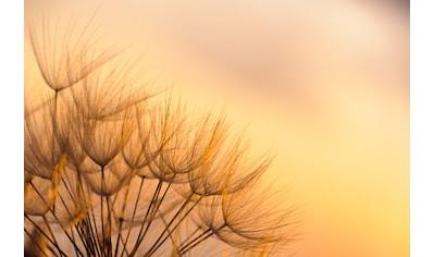 Papermoon Fototapete »Dandelion Sunset« kaufen