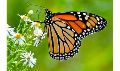 Papermoon Fototapete »Monarch Butterfly« kaufen