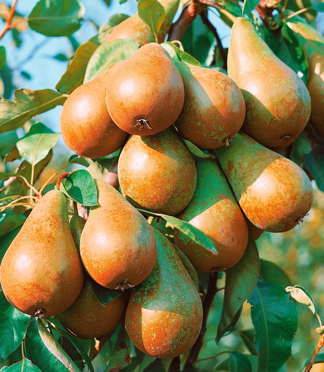 BCM Obstbaum Zwerg-Birne Condo grün Obst Pflanzen Garten Balkon