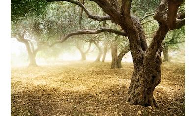 PAPERMOON Fototapete »Old Olive Trees«, Vlies, in verschiedenen Größen kaufen