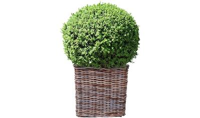 BCM Gehölze »Buchsbaum Kugel«, Höhe: 25 cm, 1 Pflanze kaufen