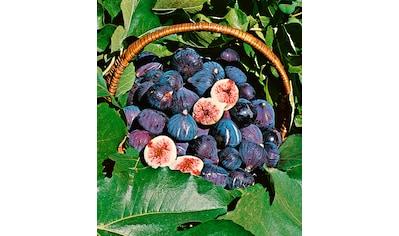 BCM Obstpflanze »Feigenbaum«, blau kaufen