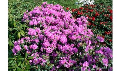 BCM Gehölze »Rhododendron Catawbiense Grandiflorum«, Höhe: 45 cm, 1 Pflanze kaufen