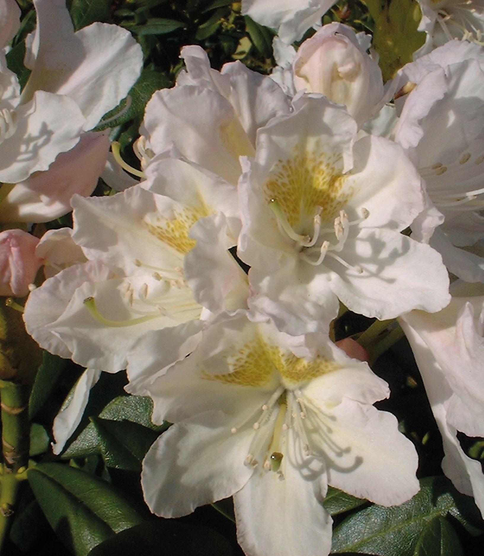 Rhododendron-Bcm-Ziergehoelze-Cunningham-039-S-White-Pflanzen-Blueht-im-Mai Indexbild 3