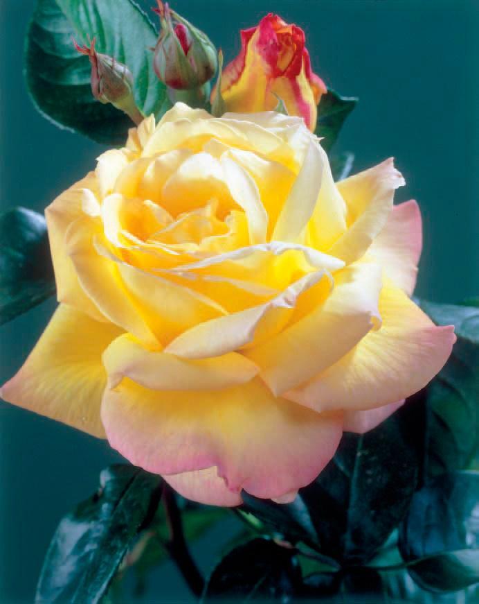 BCM Beetpflanze Edelrose Peace gelb Beetpflanzen Pflanzen Garten Balkon
