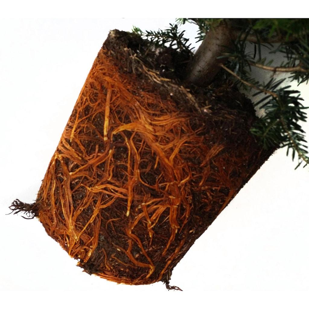 Weihnachtsbaumland Echter Weihnachtsbaum »Echte Nordmanntanne zum Einpflanzen«, im Topf gewachsen