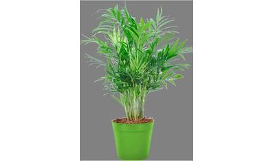 BCM Zimmerpflanze »Bergpalme« kaufen