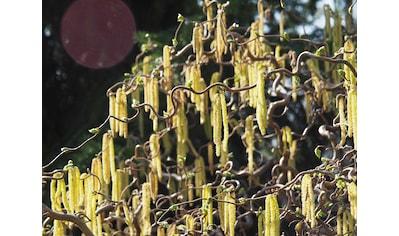 BCM Gehölze »Korkenzieher-Haselnuss Contorta«, Höhe: 40 cm, 1 Pflanze kaufen