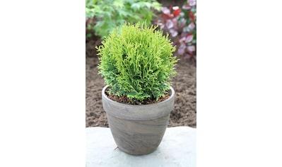 Hecke »Lebensbaum Tiny Tim«, Höhe: 20 - 30 cm, 9 Pflanzen kaufen