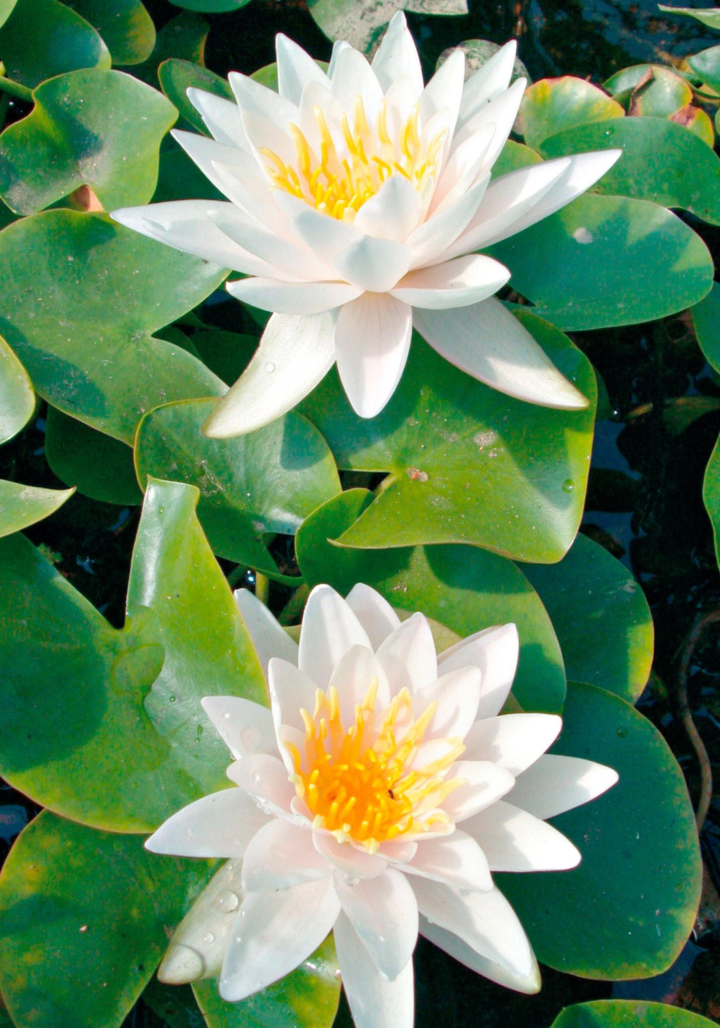 BCM Wasserpflanze Seerose Walter Pagels weiß Wasserpflanzen Pflanzen Garten Balkon