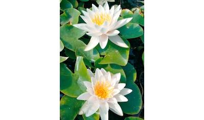 BCM Wasserpflanze »Seerose Walter Pagels« kaufen