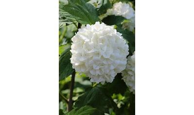 BCM Gehölze »Schneeball 'Roseum'«, Lieferhöhe: ca. 80 cm, 2 Pflanzen kaufen