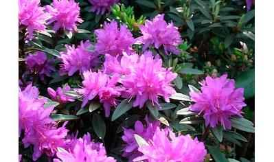 BCM Hecken »Zwergrhododendron Ramapo« kaufen