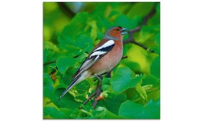 Artland Glasbild »Buchfink Lied«, Vögel, (1 St.) kaufen