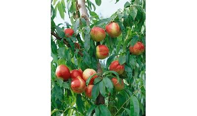 Obstbaum »Zwergnektarine Nectarella« kaufen