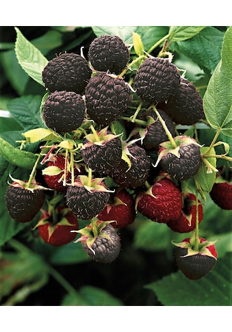 BCM Obstpflanze »Himbeere 'Black Jewel'«, 40 cm Lieferhöhe kaufen