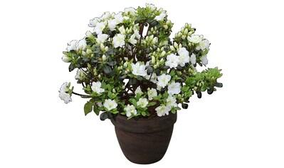 Rhododendron »Japanische Azalee Schneeperle« kaufen
