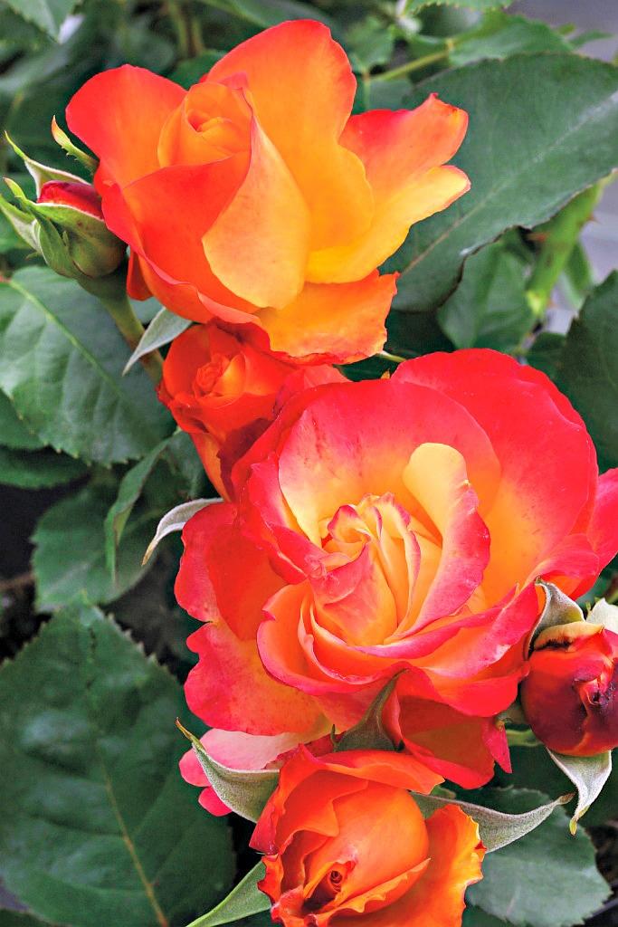 BCM Beetpflanze Rose Antigua gelb Beetpflanzen Pflanzen Garten Balkon