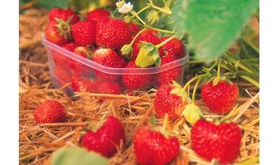 BCM Obstpflanze »Erdbeere Senga Sengana« kaufen