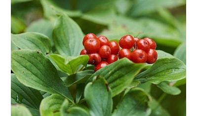 BCM Gehölze »Teppich-Hartriegel«, 3 Pflanzen kaufen