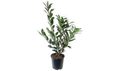 BCM Hecken »Kirschlorbeer«, 4 Pflanzen kaufen