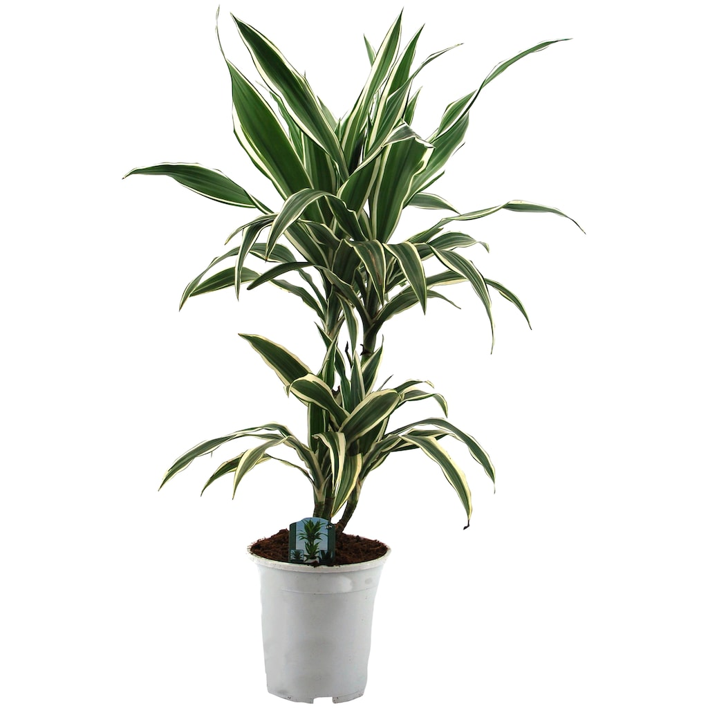 Dominik Zimmerpflanze »Drazena«, Höhe: 50 cm, 1 Pflanze