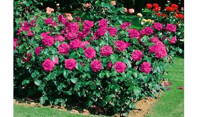 Beetrose »Heidi Klum Rose®« kaufen