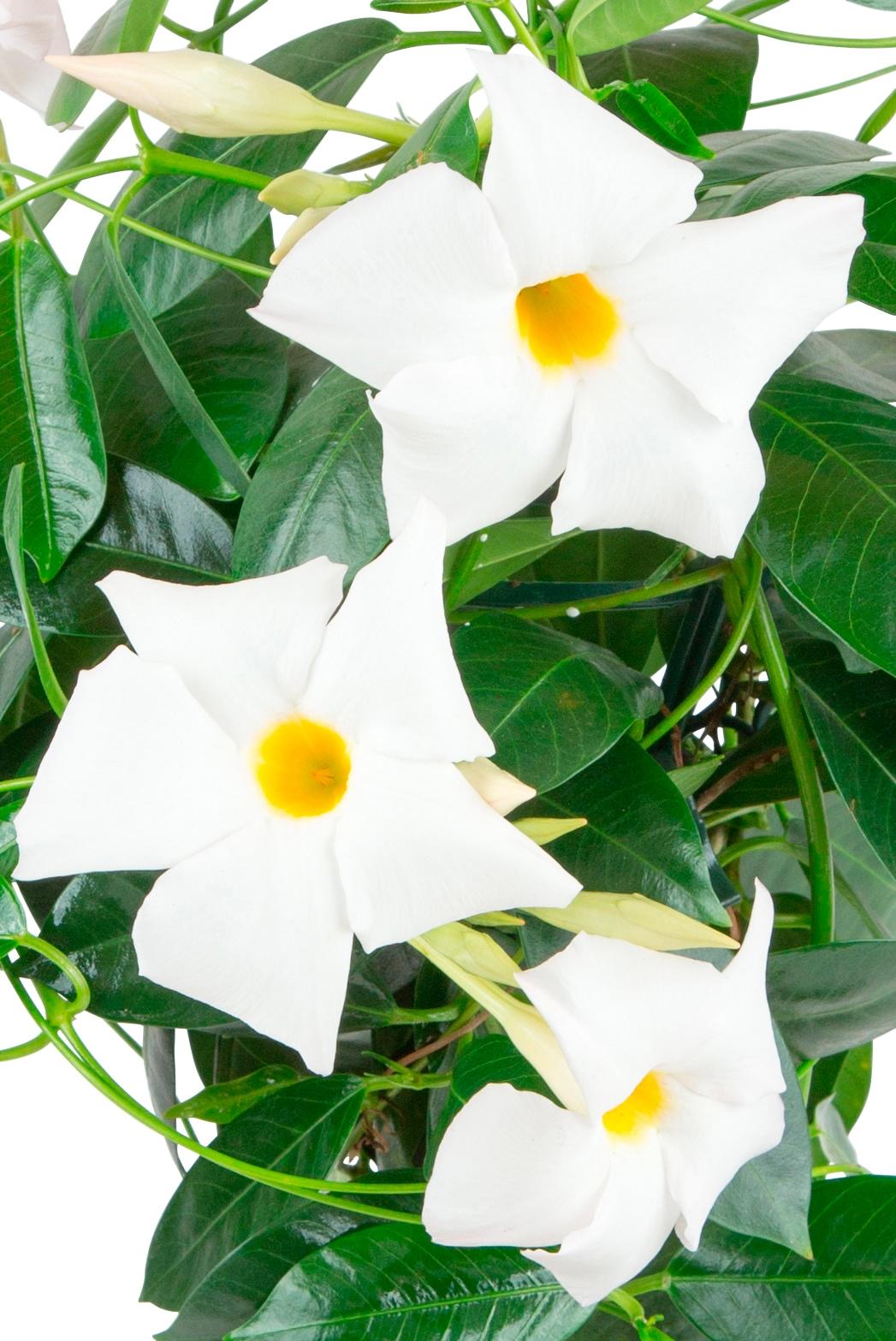 BCM Beetpflanze Jade White, Höhe: 45 cm weiß Beetpflanzen Pflanzen Garten Balkon