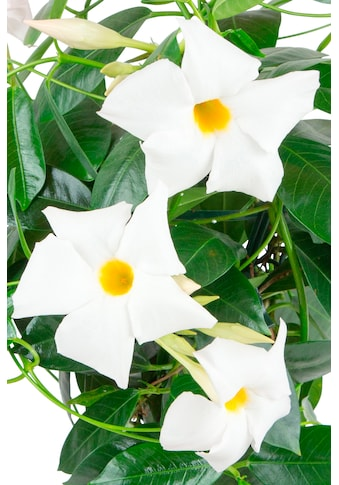 BCM Beetpflanze »Jade White«, Höhe: 45 cm kaufen