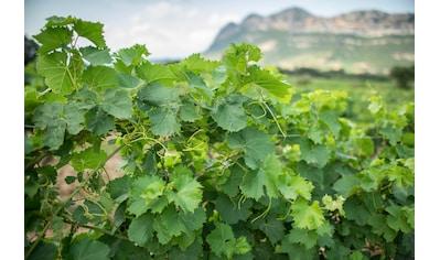 BCM Obstpflanze »Wein gelb«, Lieferhöhe: ca. 60 cm, 1 Pflanze kaufen