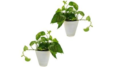 Dominik Zimmerpflanze »Efeututen«, Höhe: 30 cm, 2 Pflanzen in Dekotöpfen kaufen
