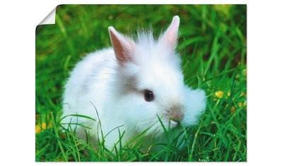 Artland Wandbild »Weißes Zwergkaninchen Baby«, Wildtiere, (1 St.), in vielen Größen & Produktarten - Alubild / Outdoorbild für den Außenbereich, Leinwandbild, Poster, Wandaufkleber / Wandtattoo auch für Badezimmer geeignet kaufen