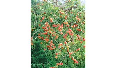 BCM Pfirsichbaum kaufen