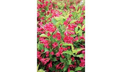 Gehölz »Weigelie Red Prince« (2 Pfl.) kaufen