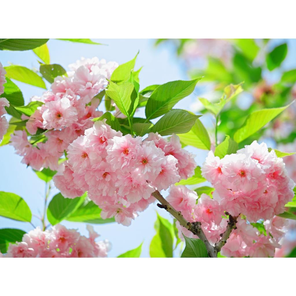 Papermoon Fototapete »Sakury Cherry Blossom«
