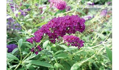 BCM Staude »Sommerflieder Royal Red«, 3 Pflanzen kaufen