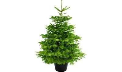 """Weihnachtsbaum Guru Echter Weihnachtsbaum """"Nordmanntanne im Topf"""", Nordmanntanne kaufen"""
