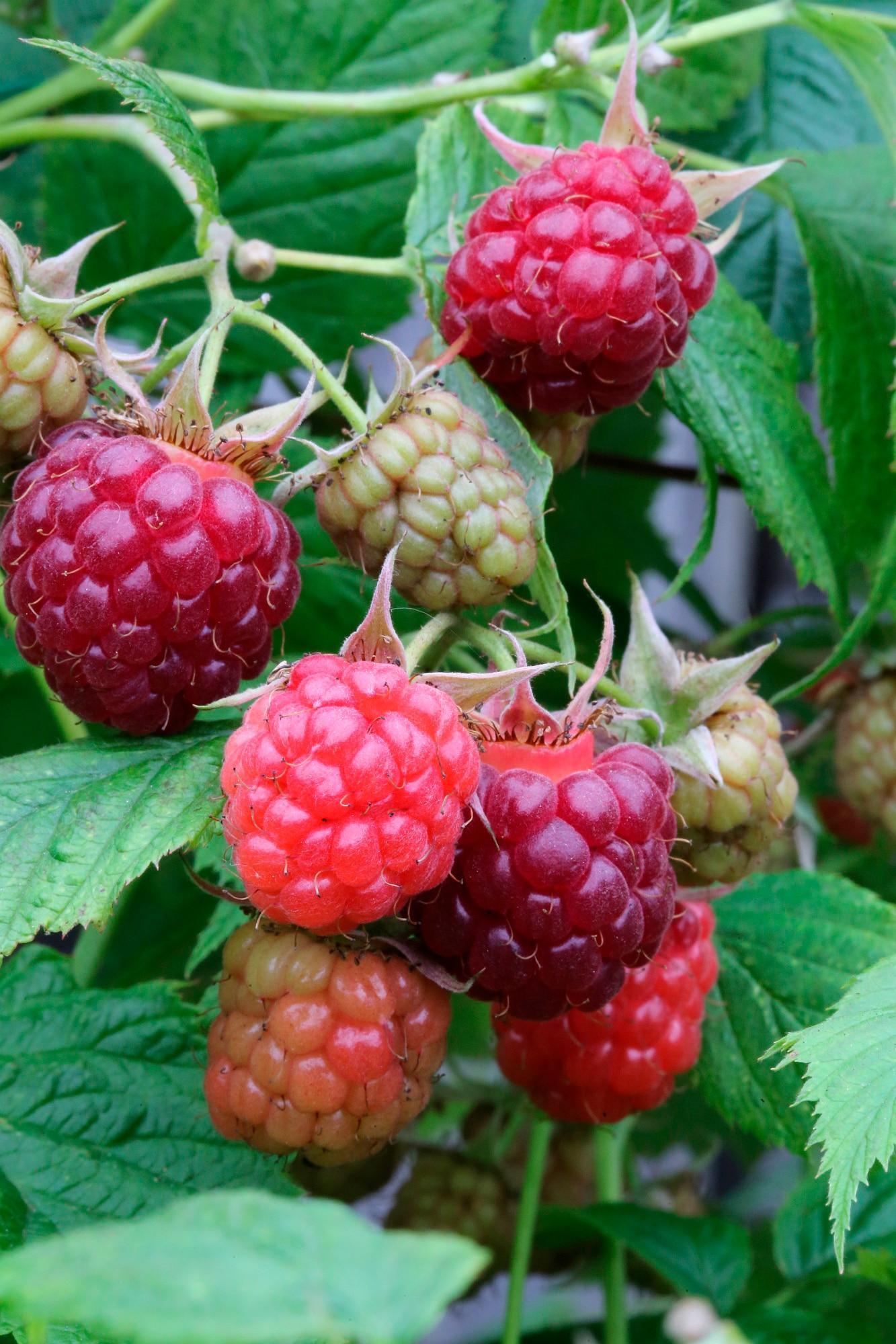 BCM Obstpflanze Himbeere Pokusa, Höhe: 30-40 cm, 1 Pflanze weiß Obst Pflanzen Garten Balkon