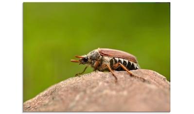 Artland Glasbild »Maikäfer«, Insekten, (1 St.) kaufen