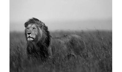 Consalnet Fototapete »Schwarz Weißer Löwe«, Motiv kaufen