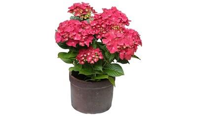 BCM Hortensie »Leuchtfeuer«, Höhe: 30 - 40 cm, 2 Pflanze kaufen