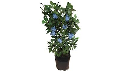 BCM Obstpflanze »Heidelbeere Vaccinium corymbosum«, 60 cm Lieferhöhe kaufen
