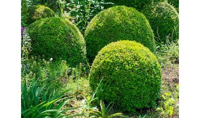 BCM Gehölze »Buchsbaum Kugel«, Höhe: 50 cm, 1 Pflanze kaufen