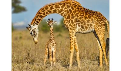 Papermoon Fototapete »Masai Giraffe Protecting Baby« kaufen