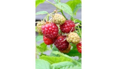 BCM Obstpflanze »Himbeere Sugana«, Höhe: 30-40 cm, 1 Pflanze kaufen
